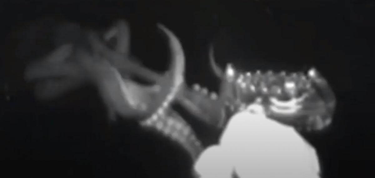 Кальмар заинтересовался приманкой / скриншот из видео