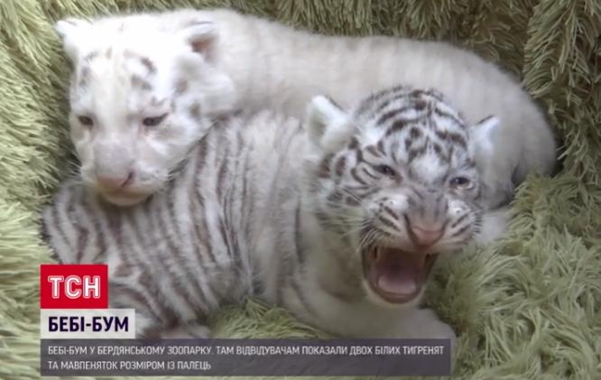 Білі тигренята в зоопарку Бердянська / скріншот