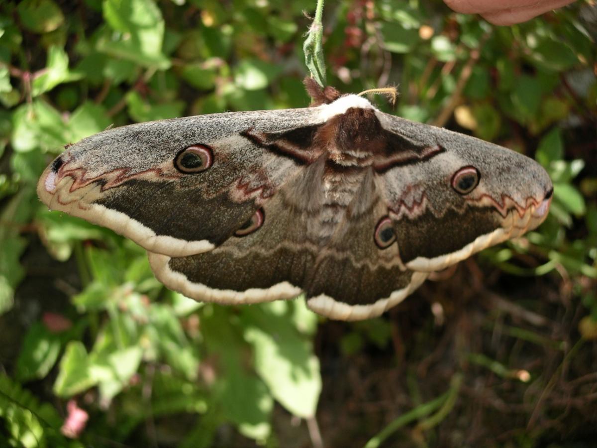 Сатурния великая-самая большая ночная бабочка Европы / фото Википедия