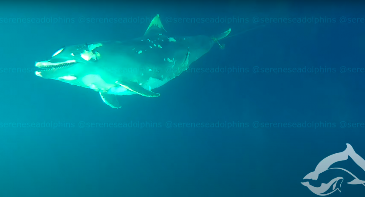 По словам специалистов, большинство тел такихдельфинов остаются в море вдалеке от берега / скриншот