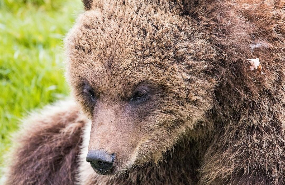У зоопарку в Уіпснейді співробітники вбили двох бурих ведмедиць / фото facebook.com/zslwhipsnadezoo