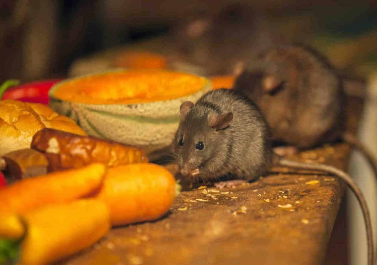 Пару штатов Австралии заполонили мыши / фото artem-sad