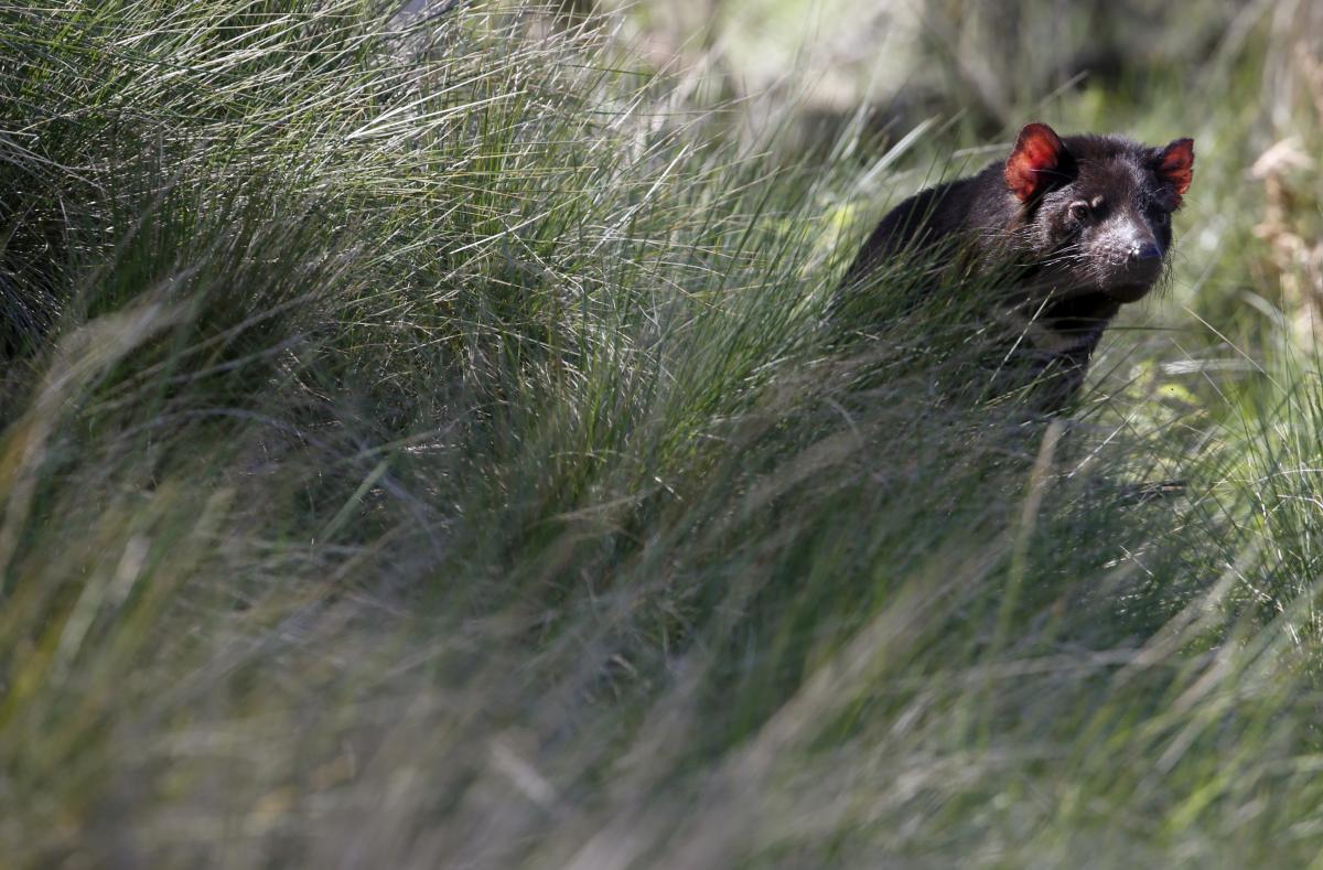 В Австралии восстанавливают популяцию тасманийских дьяволов / фото REUTERS