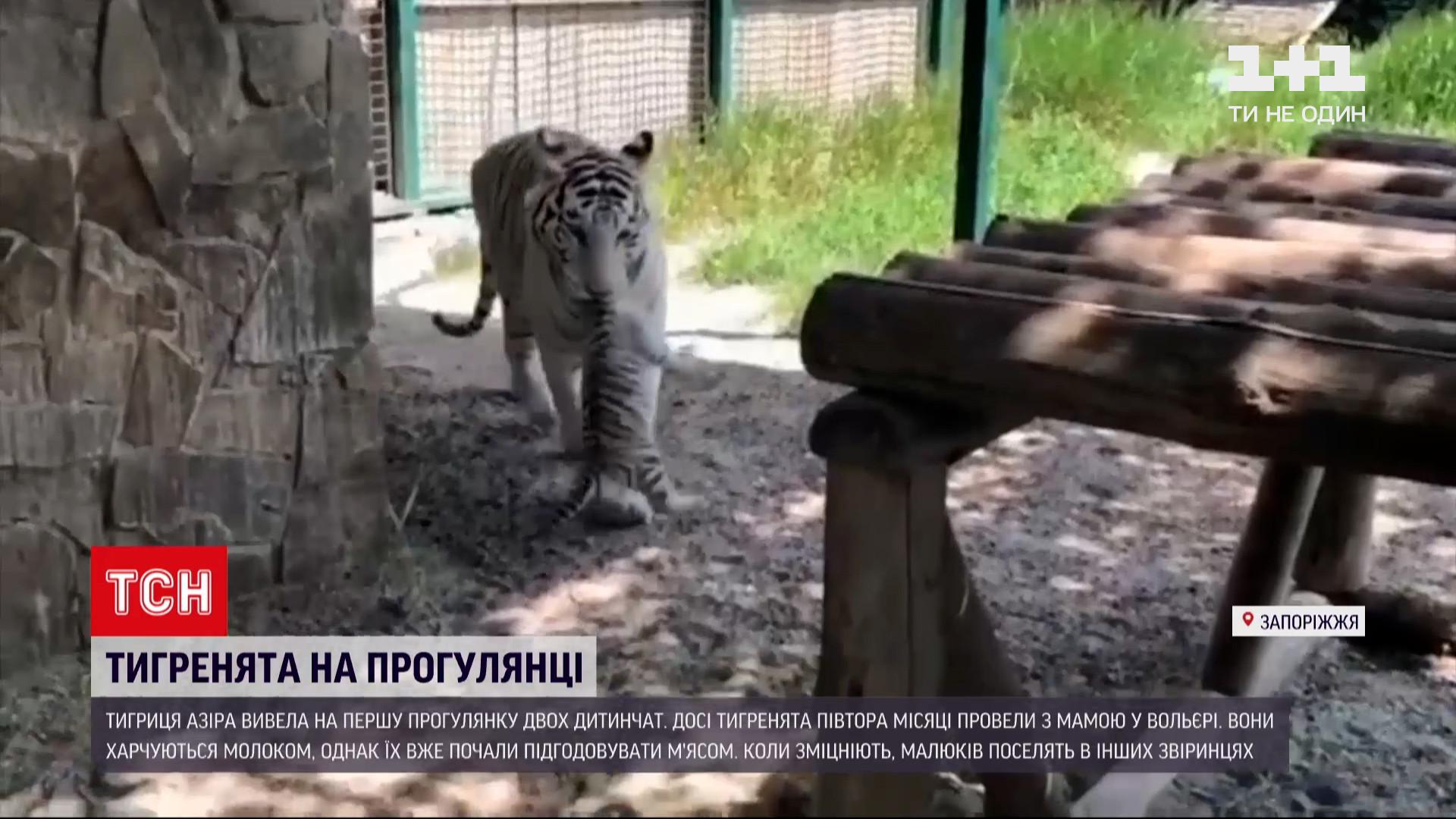 В Бердянске бенгальские тигрята впервые вышли на прогулку / скриншот видео