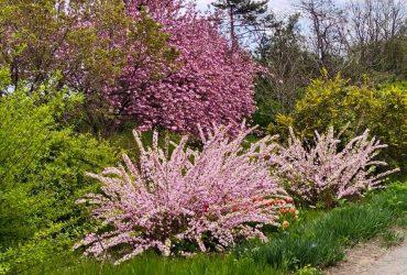 Тюльпани, іриси та айва: в Одеському ботсаду розпустилися яскраві квіти (фото)