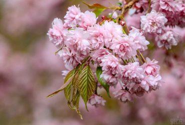 У Херсоні розквітла алея сакур, подарованих послом Японії (відео)