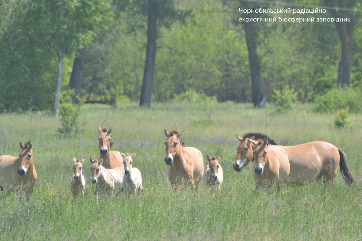 Табун лошадей Пржевальского с малышами/ фото facebook.com/zapovidnyk2018