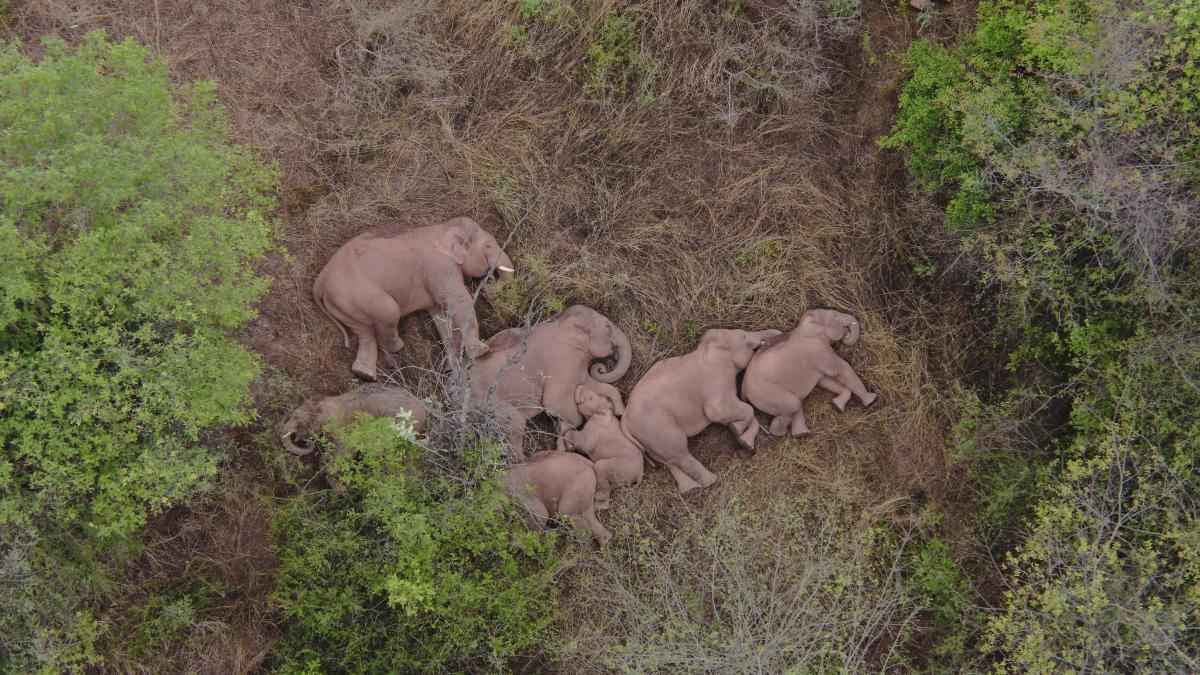 За стадом слонов наблюдают с помощью дронов \ фото REUTERS