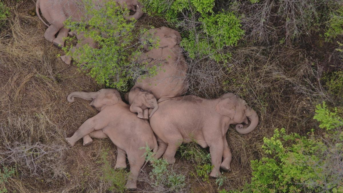 Стадо из 15 диких слонов, включая трех слонят, отправилось в путь из родных мест \ фото REUTERS