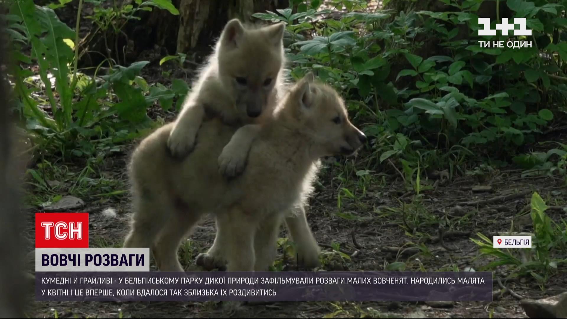 Батьки-вовки добре піклуються про малих/ скріншот з відео