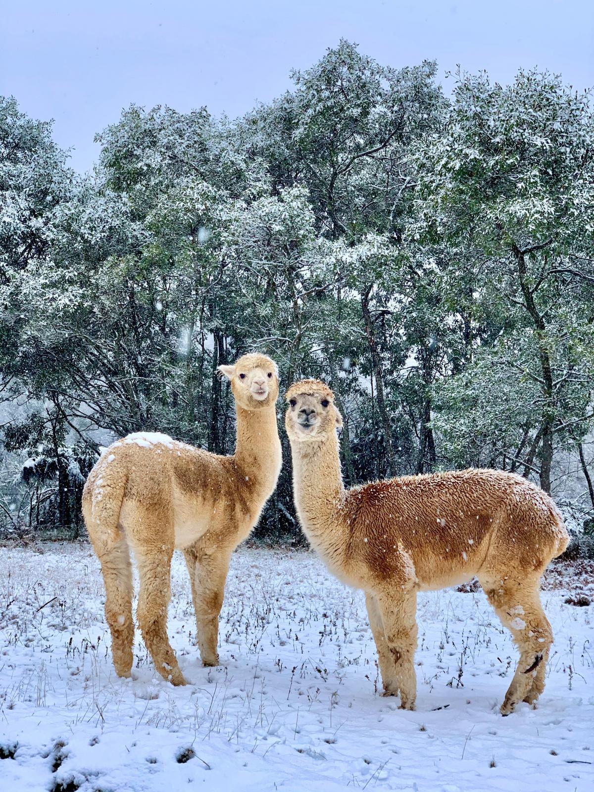Австралию засыпало снегом / фото REUTERS