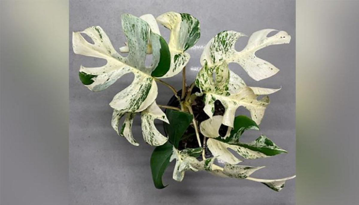 Продана рафідофора стала найдорожчою рослиною на аукціонному сайті в Новій Зеландії / скріншот, trademe.co.nz