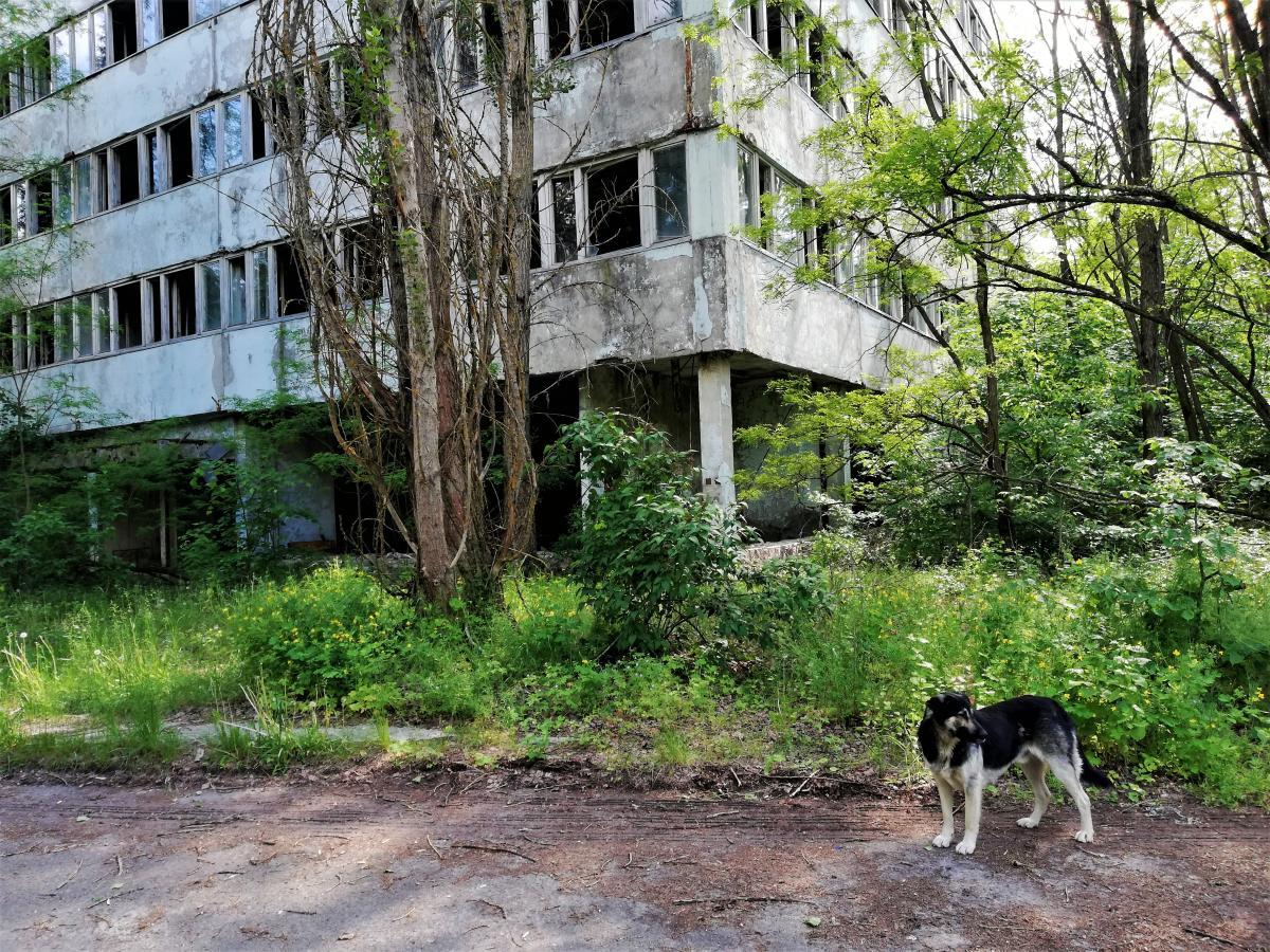 У Прип'яті дуже багато бродячих собак / фото Марина Григоренко