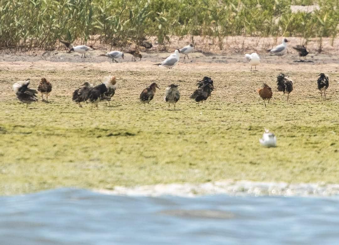 Массовое осушение болот в конце XIX века привело к исчезновению многих гнездовий брыжача на территории Европы / фото facebook.com/rusevivan