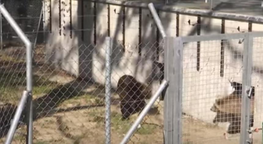 Владелец зоопарка во Львовской области отдал трех медведей в приют (видео)