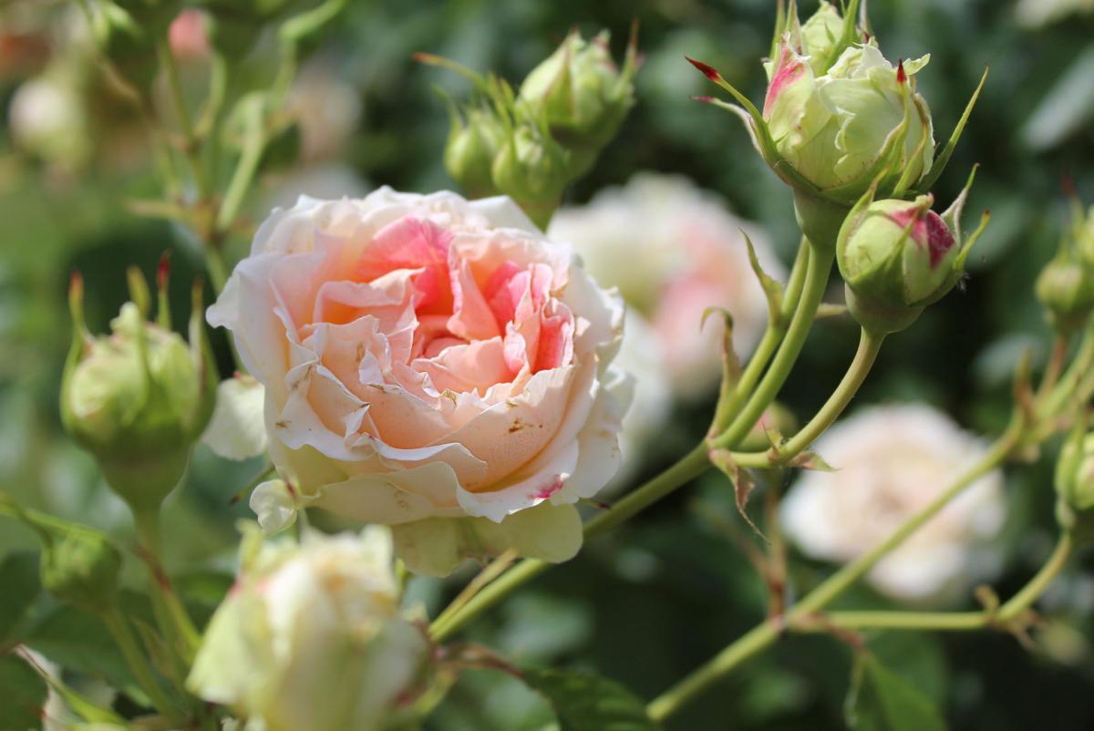 В киевском розарии началось цветение / Национальный ботанический сад им. Гришко НАН Украины