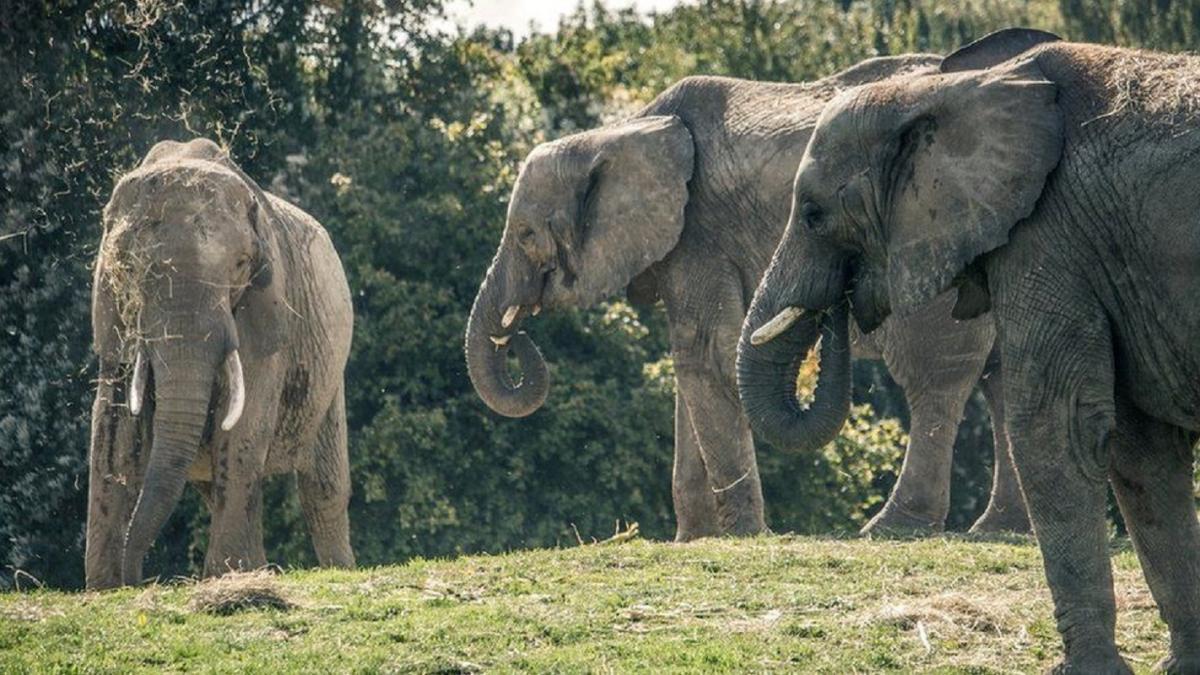 Стадо, состоящее из трех слонят, живет в вольере в парке близ Кентербери / THE ASPINALL FOUNDATION