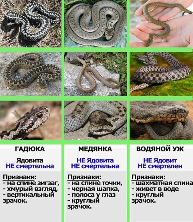 Ядовитые змеи Украины / фото nikopol.informator.ua