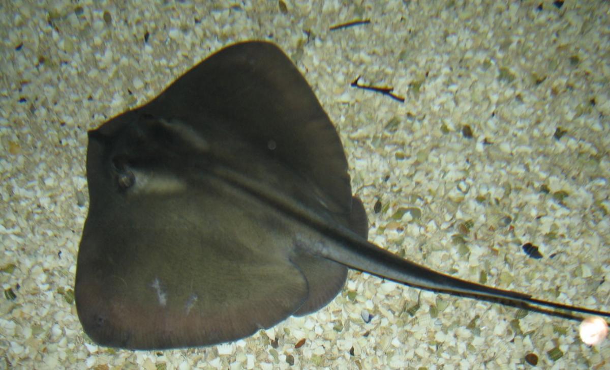 Скат-хвостокол/ фото wikipedia