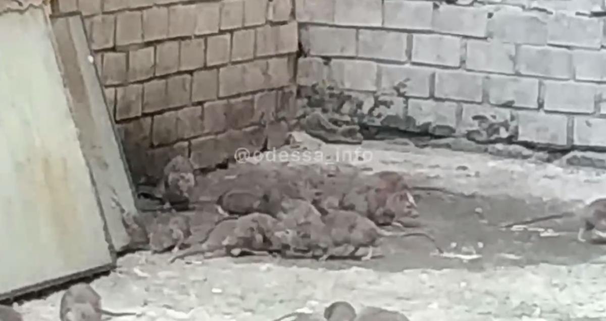Одессу атакуют крысы/ Скриншот с видео