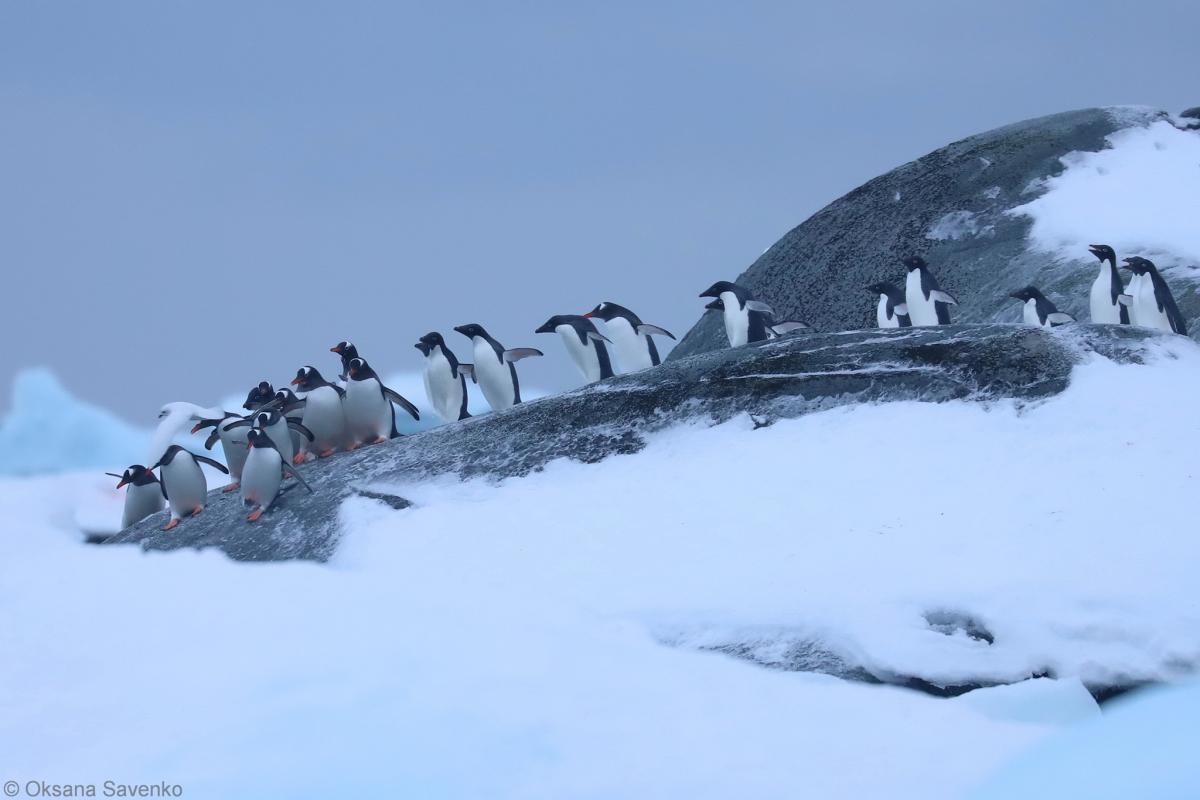 """Біля станції """"Академік Вернадський""""зібралися тисячі пінгвінів \ фото Oksana Savenko"""