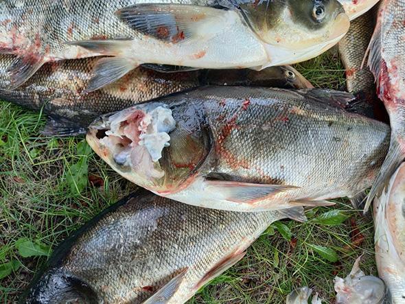 Причины гибели рыбы пока не установлены / фото zp.darg.gov.ua