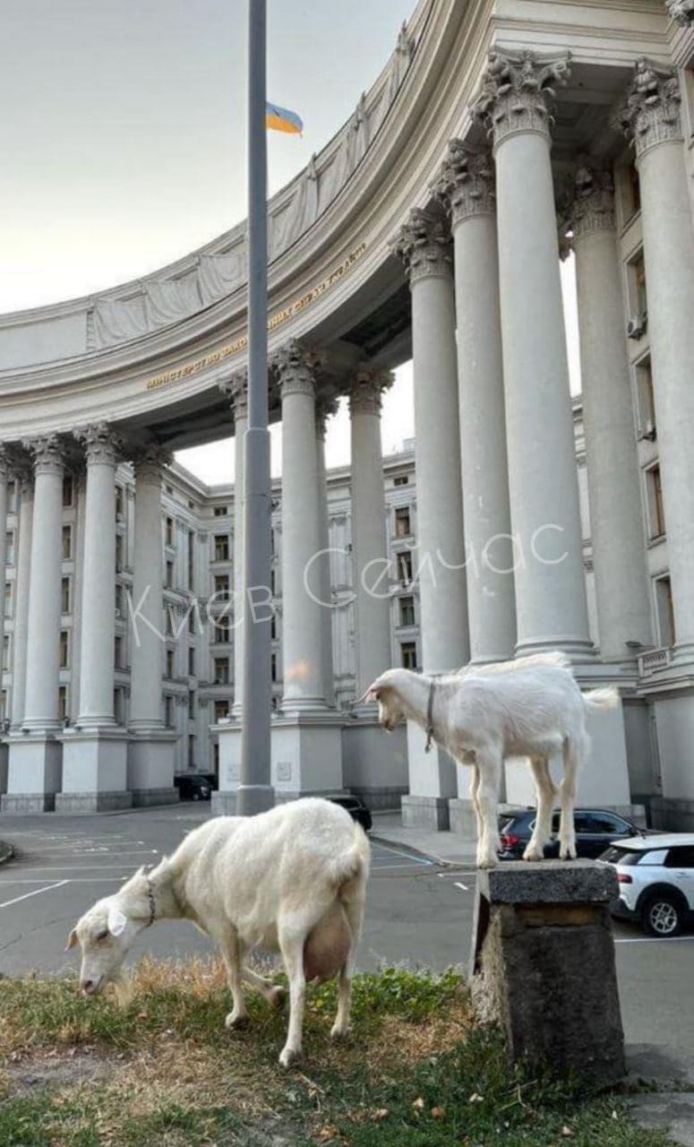 Одна из них щипала траву / фото: Киев сейчас