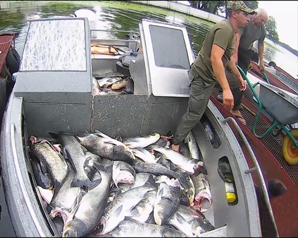Можлива причина загибелы риби - скид товстолобика через турбіни ГЕС \ zp.darg.gov.ua