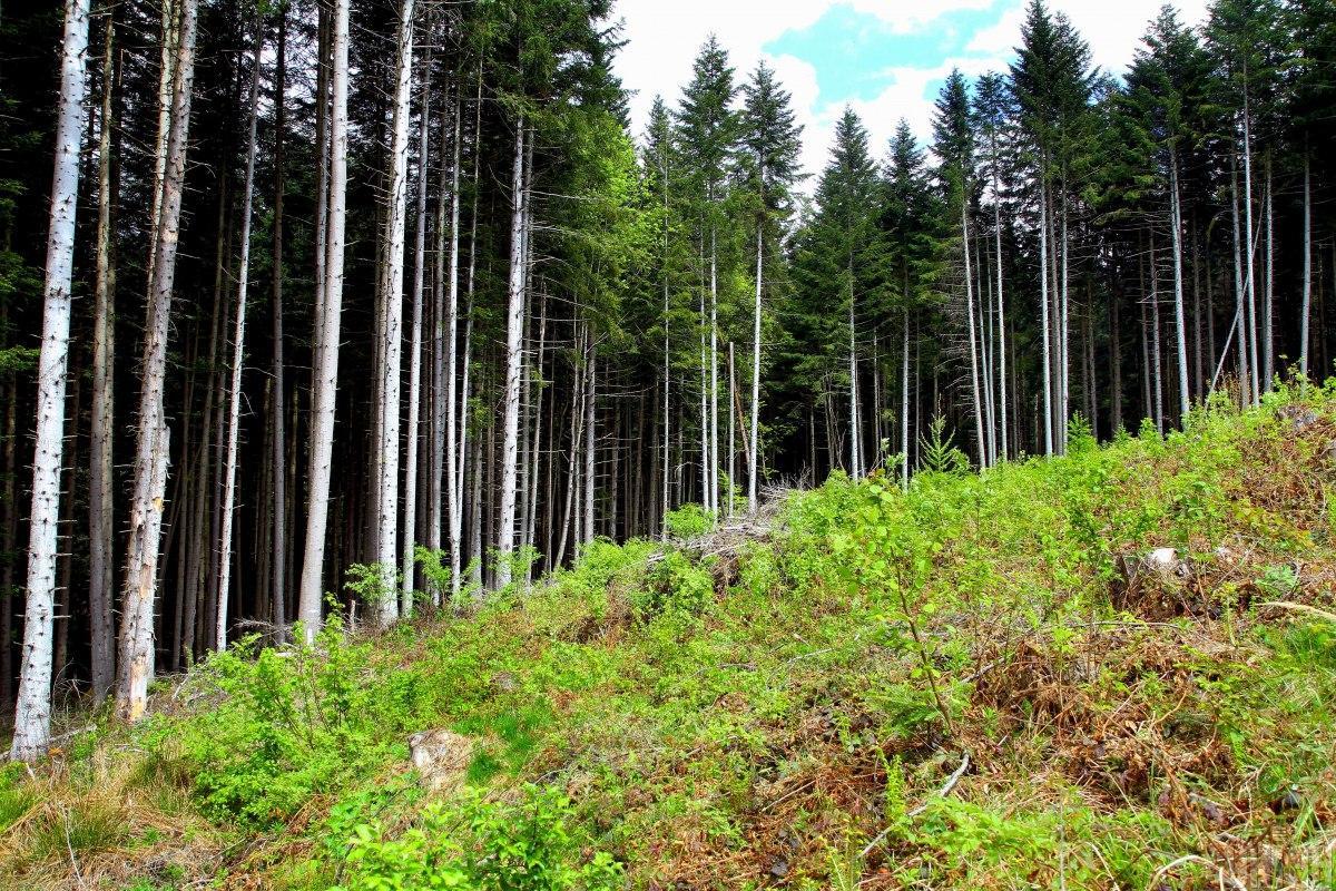 Раніше Зеленський підписав указ про збереження лісів / фото УНІАН, Янош Немеш