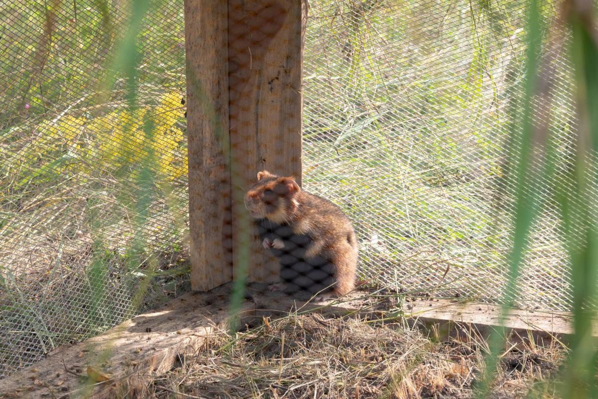 Европейский хомяк из Киевского зоопарка / фото facebook.com/zoo.kyiv.ua