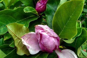 Необычное явление: в Запорожье второй раз за год цветет магнолия (фото)