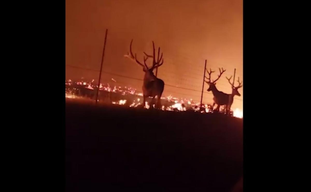 Пожарным удалось спасти оленей от огня / скриншот с видео