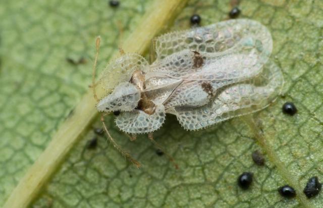 Corythucha ciliata-Платановый клоп-кружевница, инвазивный вид из Северной Америки / Фото Википедия