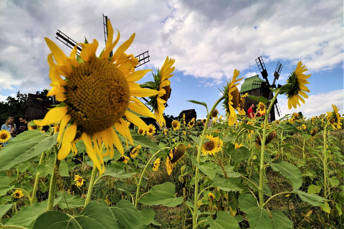 Sunflower - a symbol of the Day of Remembrance of Defenders of Ukraine / photo by Maryna Hryhorenko