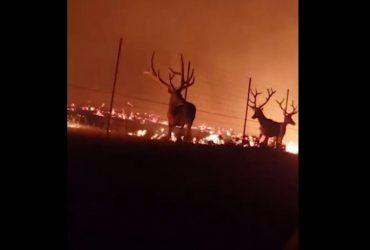 Стадо оленей едва не погибло в огненной ловушке: видео чудесного спасения