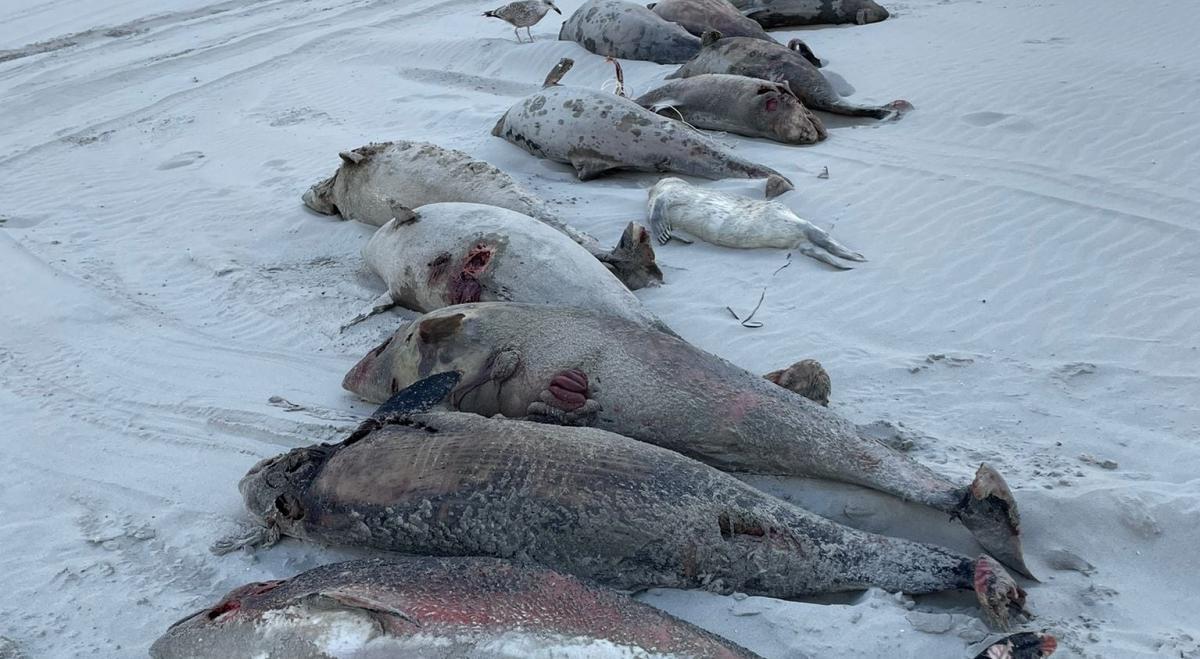 Поки невідомо, що призвело до загибелі морських свиней в Нідерландах / фото Reddingsteam Zeedieren Nederland RTZ