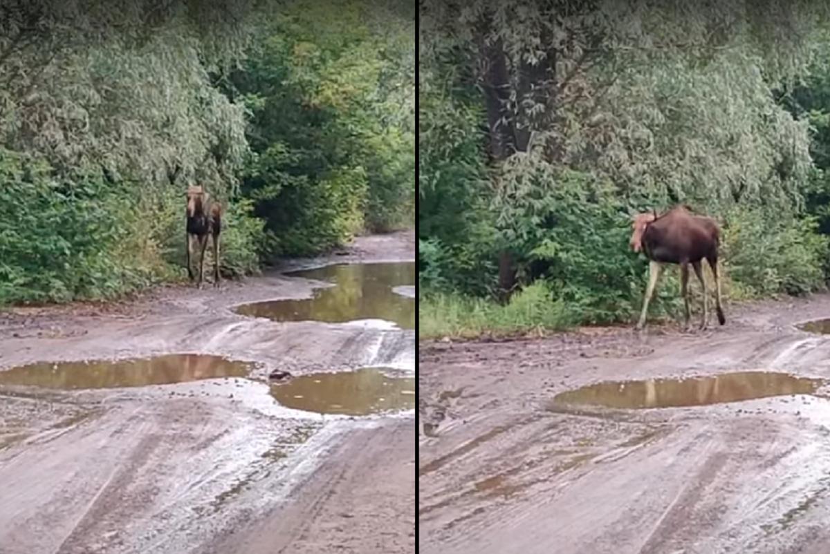 Тварина спокійно йшлавздовж немощеної дороги, ворушила вухами та поглядала навсібіч / скріншот