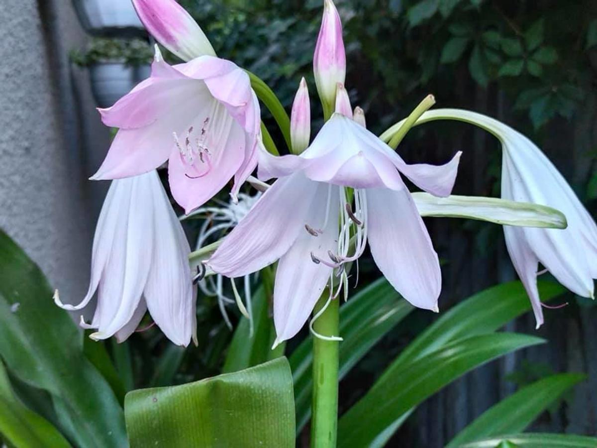 В одесском ботсаду цветет кринум / фото Ботсад им. Мечникова