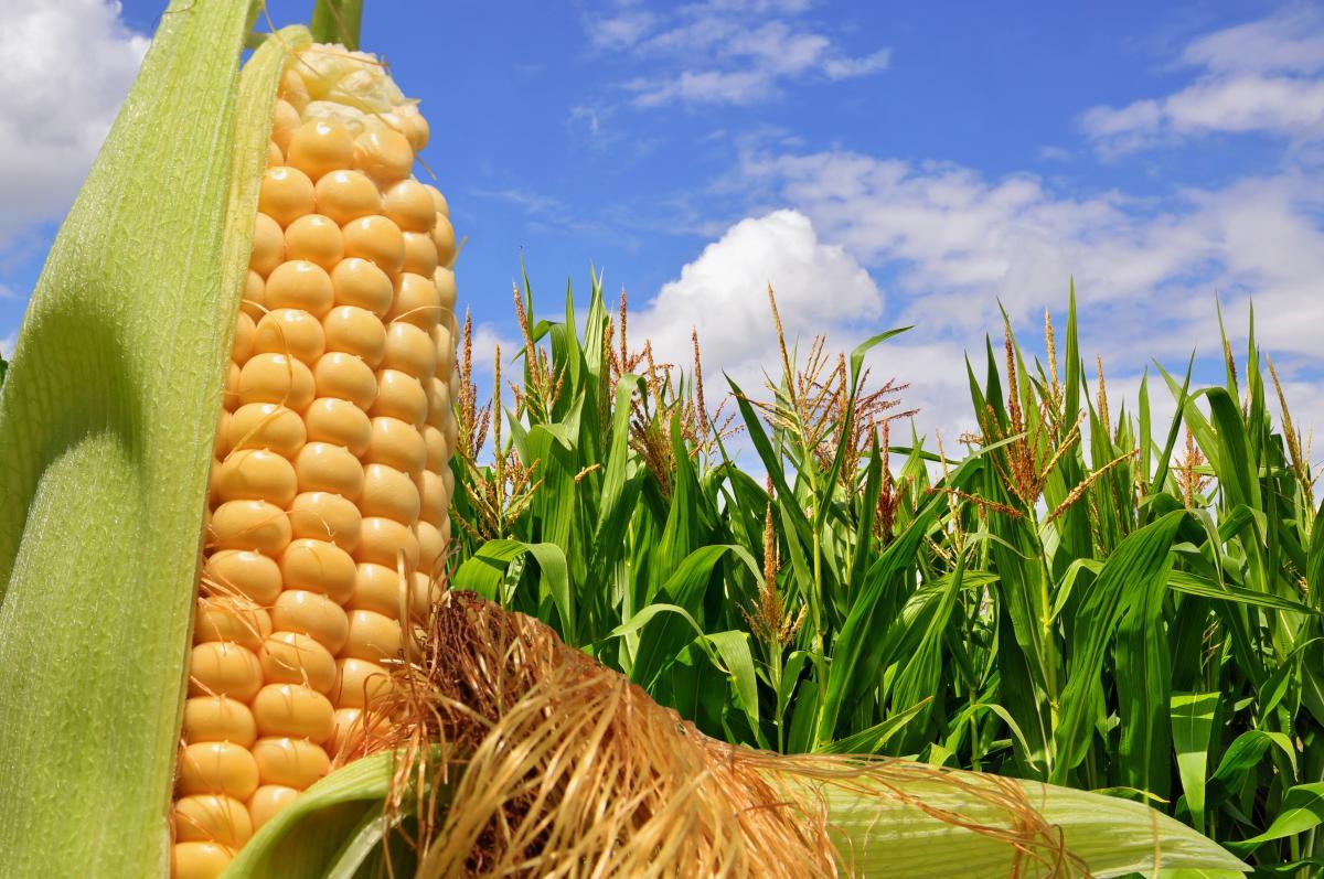 Украина может выйти на рекорд по урожаю кукурузы / фото ua.depositphotos.com