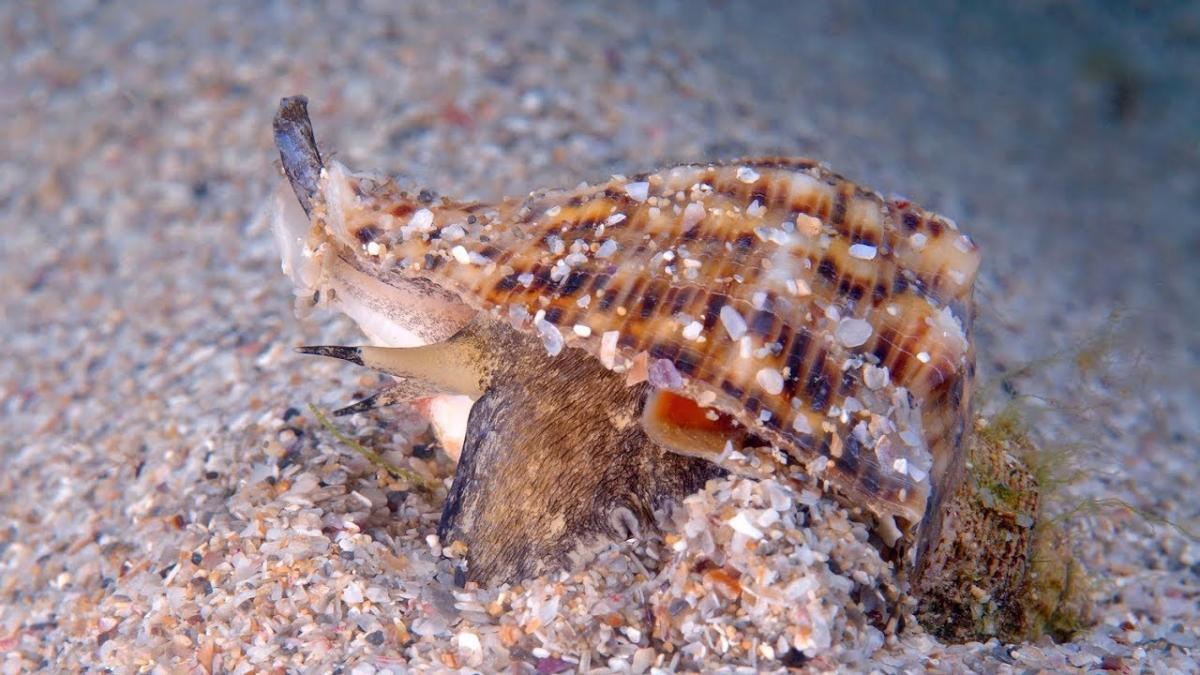 Азовское море может столкнуться с нашествием рапаны / фото aquastatus.ru