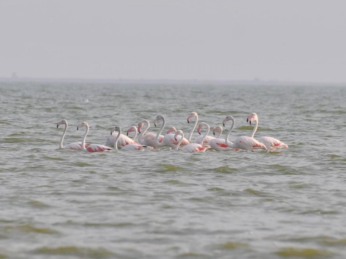 """В Одесской области заметили розовых фламинго / фото Facebook/Национальный природный парк """"Тузловские лиманы"""""""