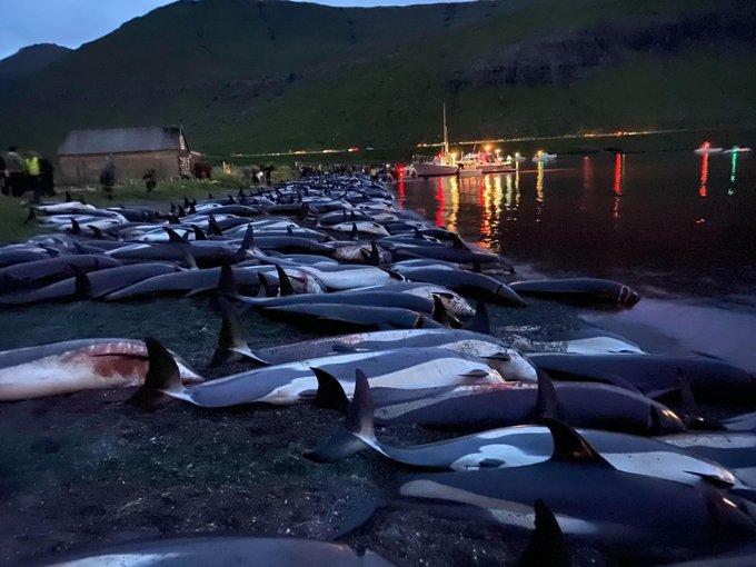 На Фарерських островах пройшов масовий забій дельфінів / фото Twitter / Dominic Dyer