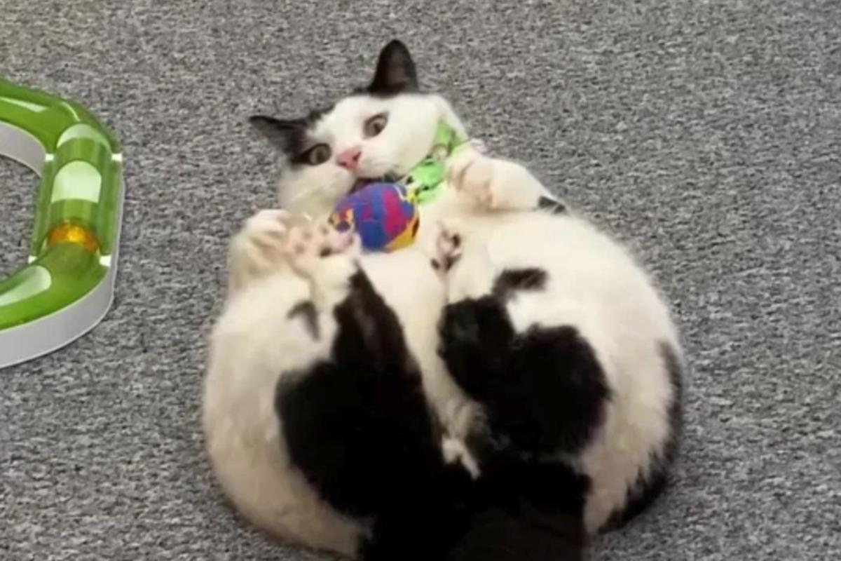 В Британии кот вырос до размеров пса / фото @keith_the_cat_cow/Kennedy News