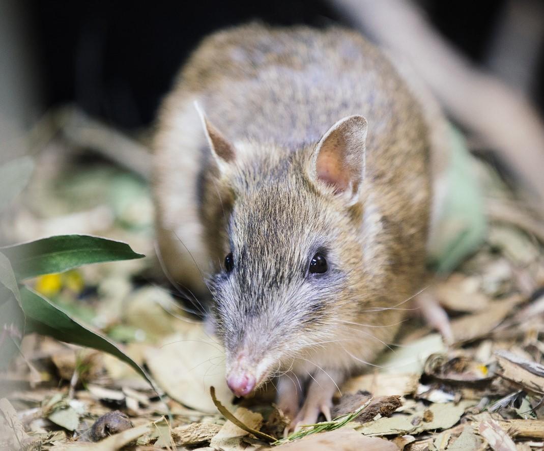 Тасманийский бандикут больше не считается вымершим в природе / фото Twitter/ Zoos Victoria