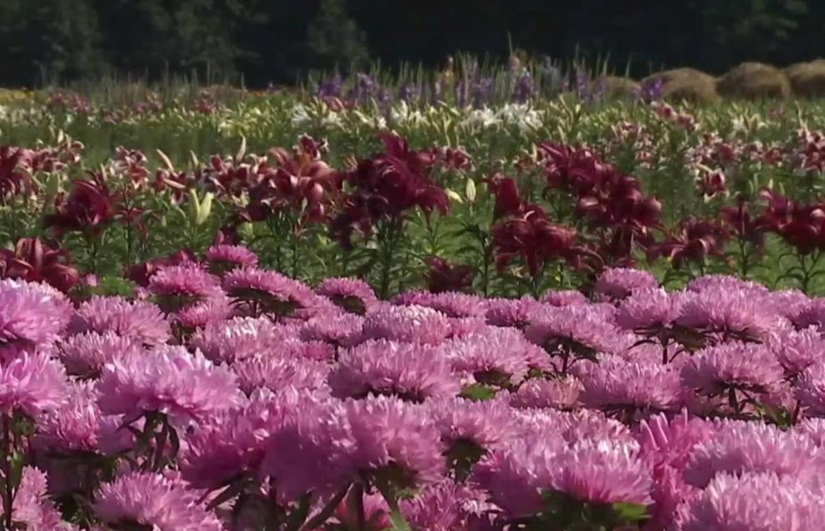 На Волині посеред поля проводять квітковий фестиваль / скріншот