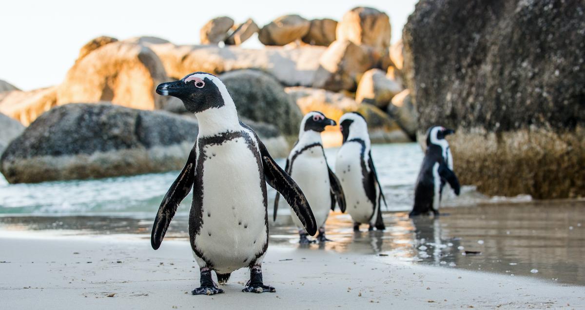 Фахівці знайшли сліди від укусів бджіл навколо очей мертвих пінгвінів / фото ua.depositphotos.com