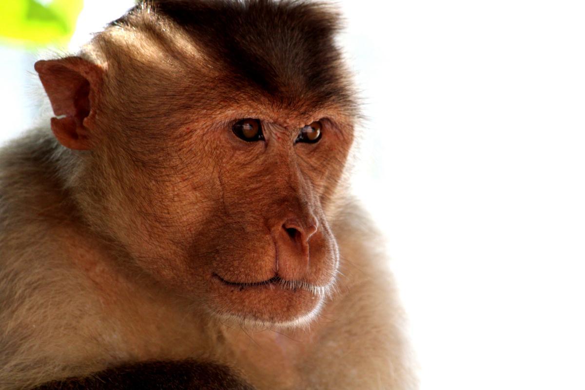 Менш ніж за тиждень мавпа повернулася в село, звідки її вивезли / фото ua.depositphotos.com
