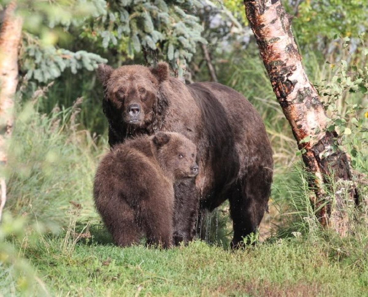 Конкурс среди медвежат в нацпарке Катмай проводили впервые / фото twitter.com/KatmaiNPS