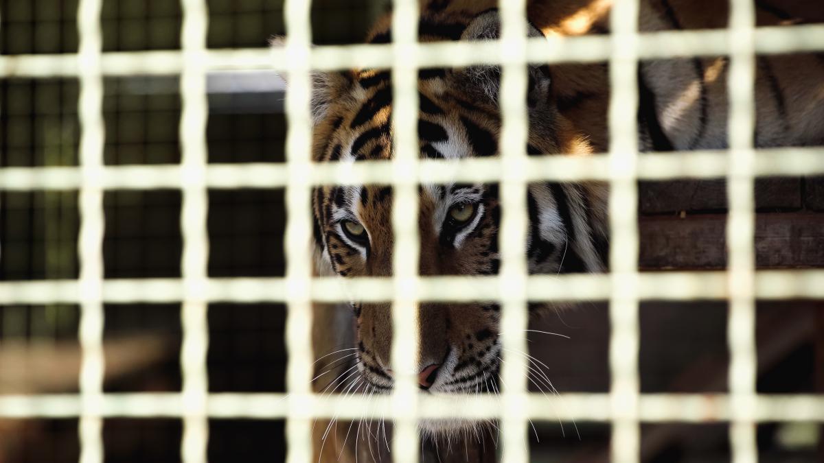 Мать поднесла малыша к тигру, и тот откусил ребенку палец / фото ua.depositphotos.com