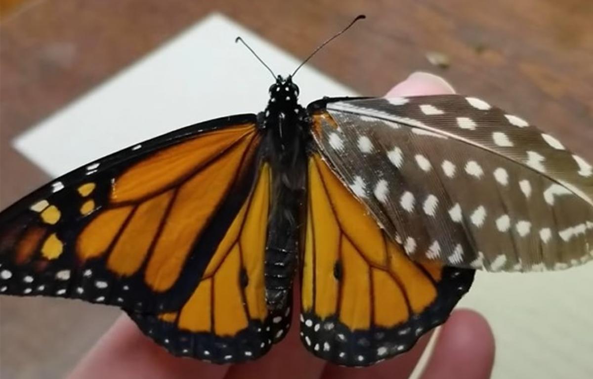 У бабочки было повреждено правое крыло/ скриншот из видео